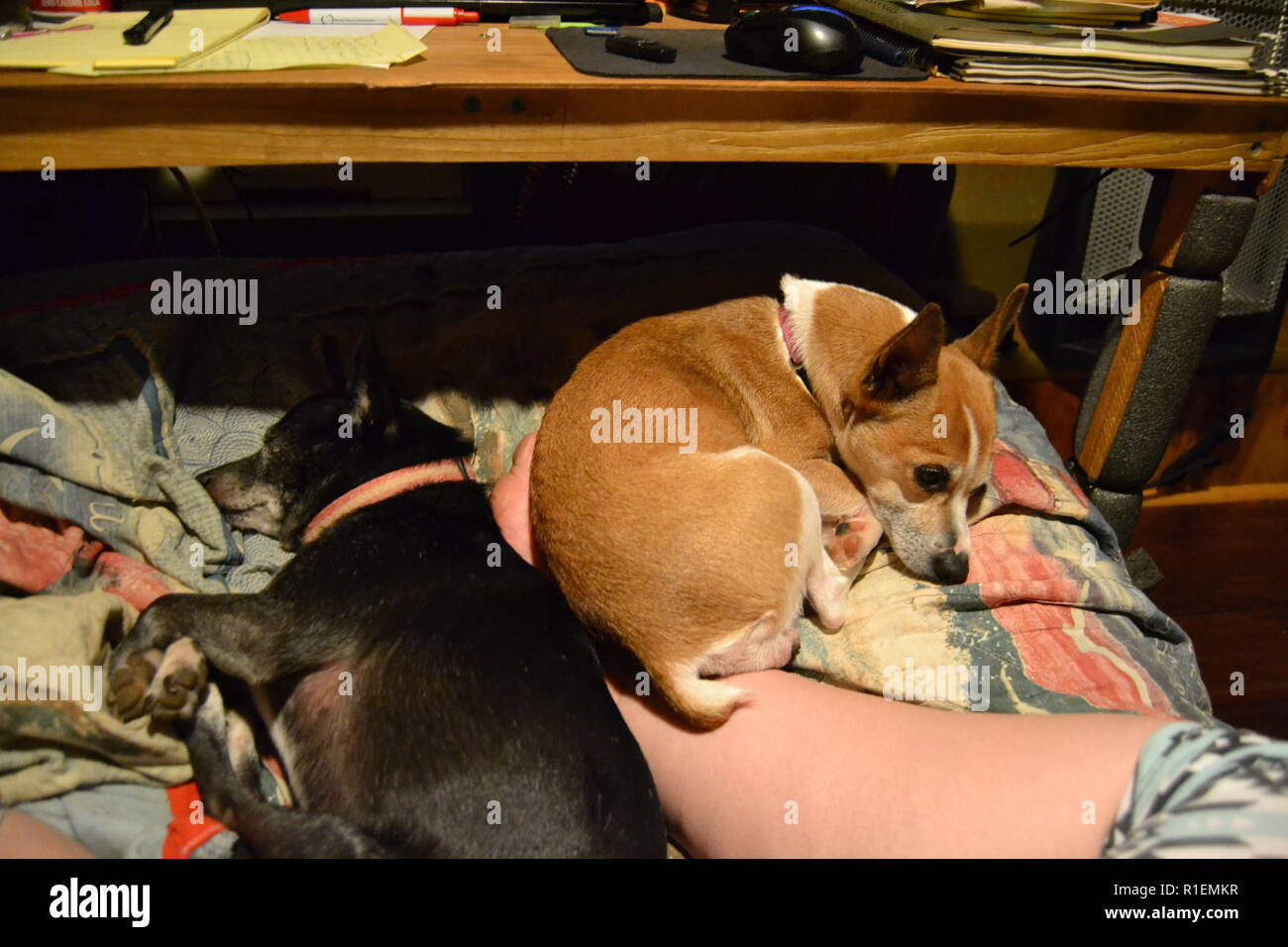 Mountain Feist and Jack Russell dogs sleeping on the couch. - Stock Image