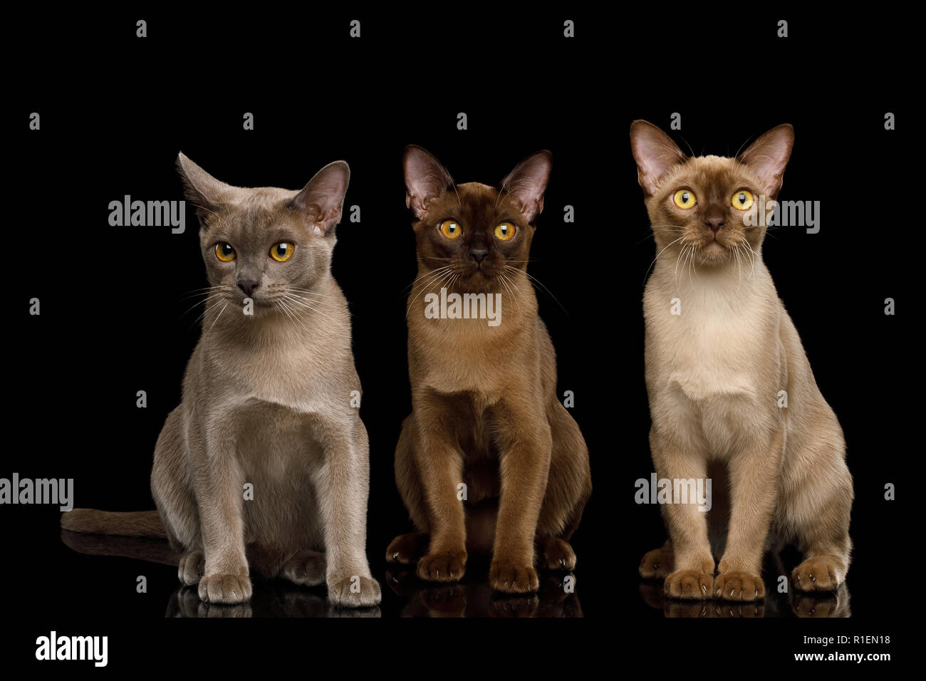Three Burma Cats Sitting and Looking in Camera, isolated on black background, front view - Stock Image