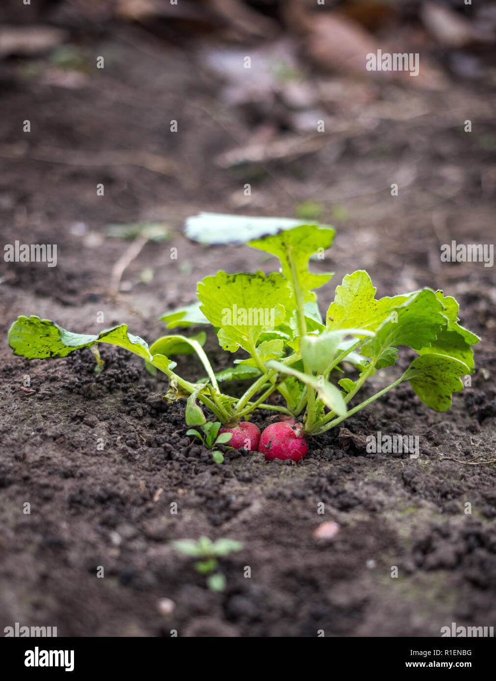 Just growing fresh red radish in the spring time on the black soil Stock Photo