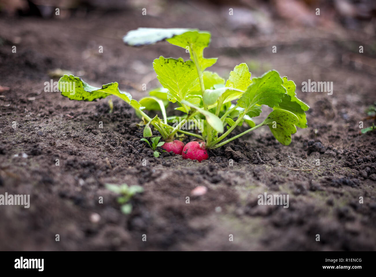 Just growing fresh red radish in the spring time on the black soil - Stock Image
