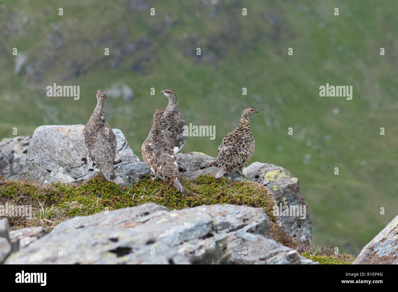 Ptamigan (Lagopus muta) in summer plumage in the Scottish Highlands - Stock Image
