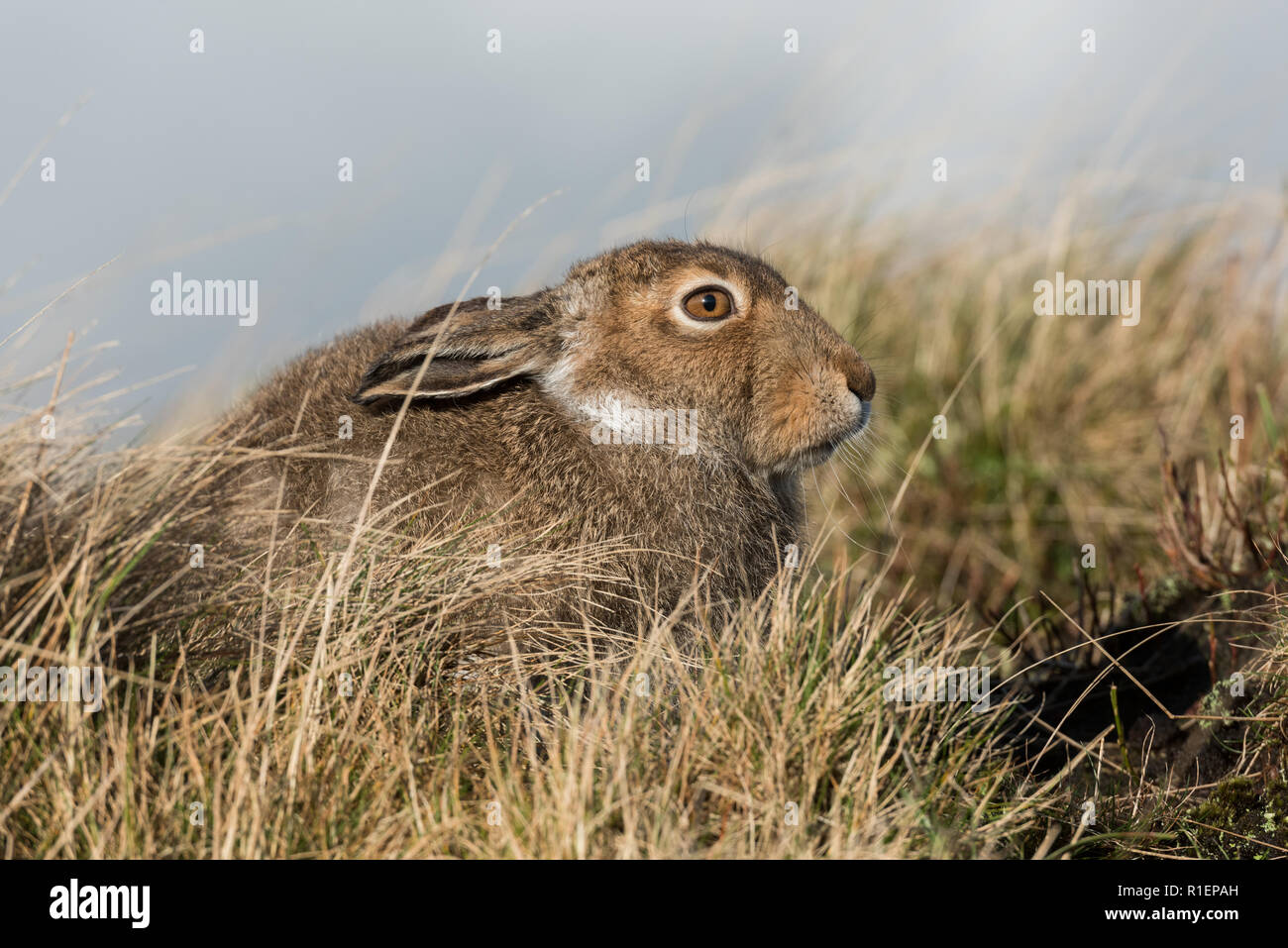 Mountain hare in summer pelage, Peak District National Park, UK - Stock Image