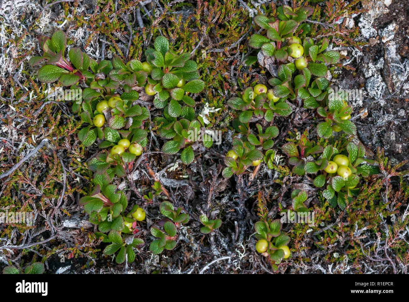 Alpine Bearberry (Arctostaphylos alpinus) on Toll Creagach, Scotland Stock Photo