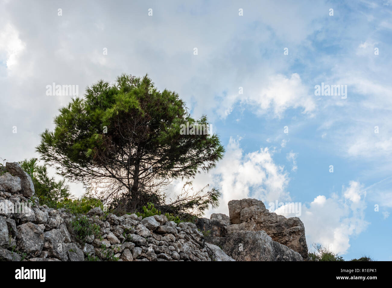 One tree with a cloudy sky background. on the rocks. Pinus halepensis, Aleppo pine, evergreen tree. Horizontal. - Stock Image