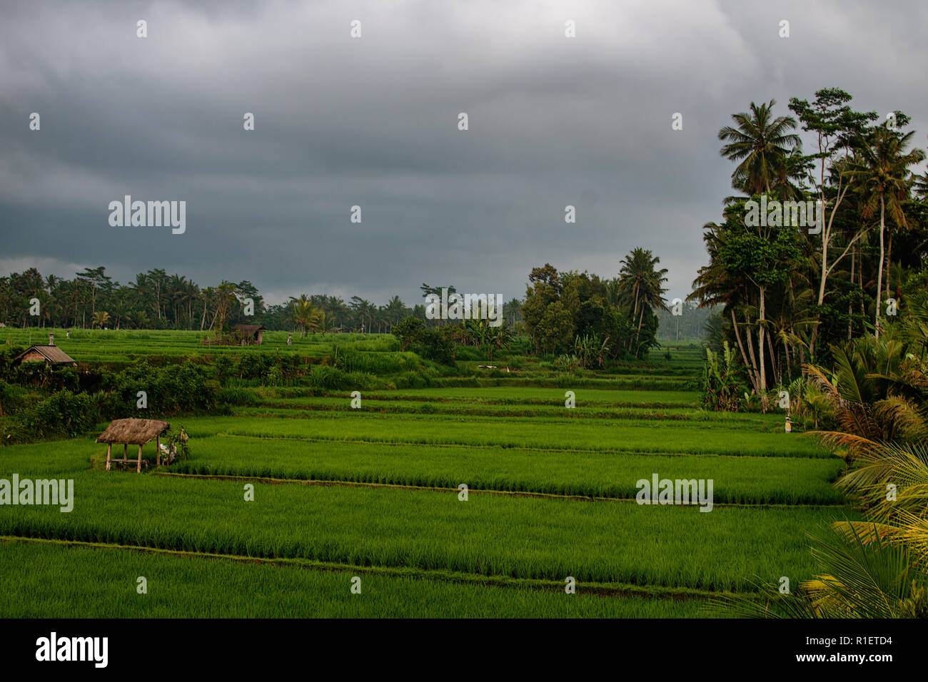 Beautiful fresh green organic bali rise paddies with along standing smalls traditionals house and palm tree forest, cloudy horizon. Backgrounds, Bali. Rice fields banner Stock Photo