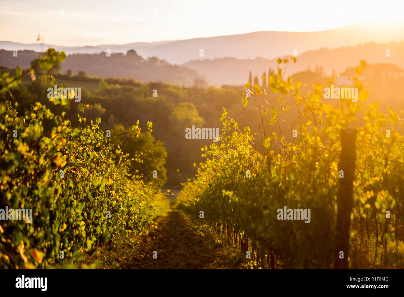 Nice view of countryyard in tuscany with wine produciton and winery concept. Sunset light create a golden and warm landscape to enjoy the beauty of th - Stock Image