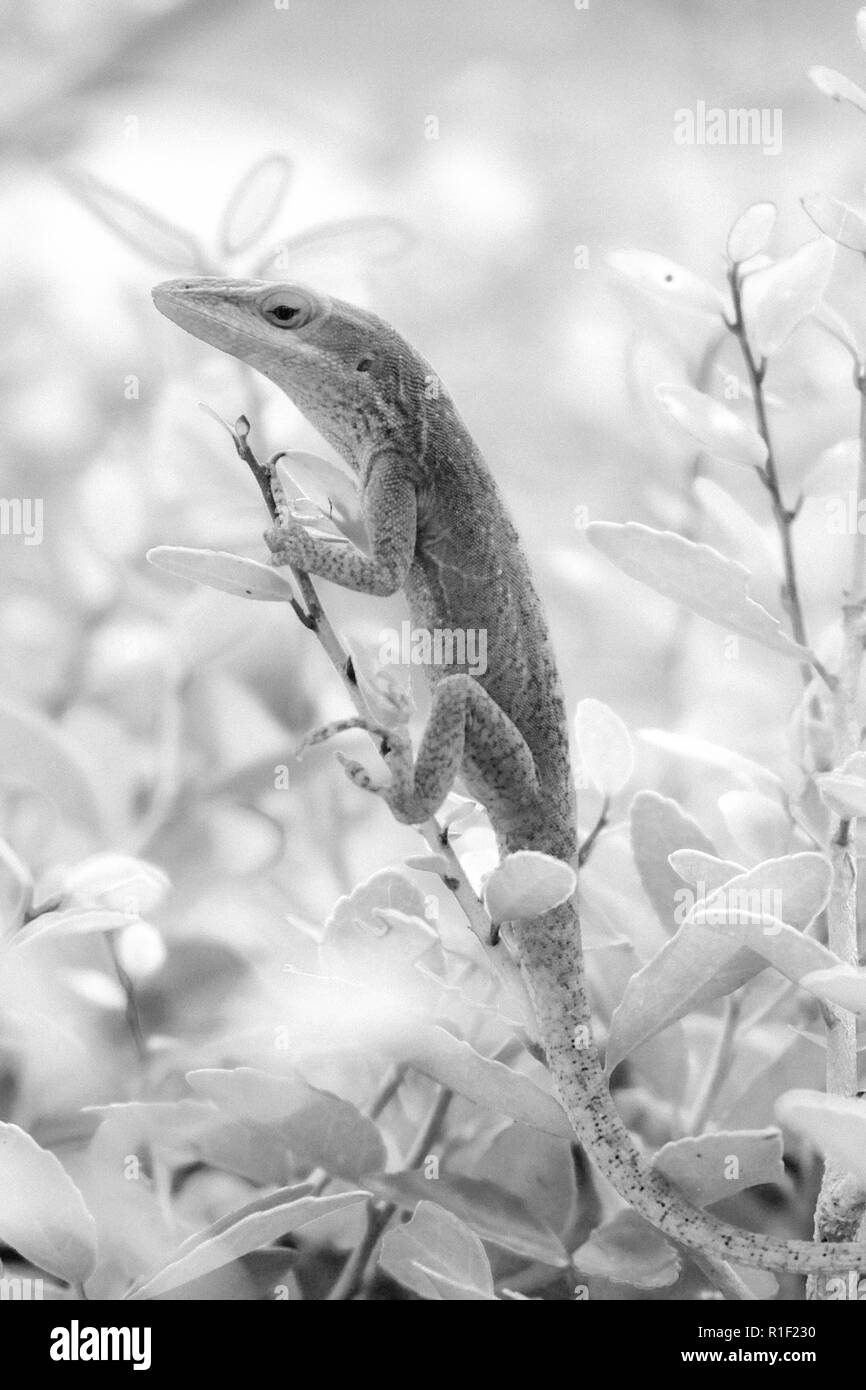 A black and white infrared filter of a Carolina anole clinging to a twig at the top of a bush at Yates Mill County Park in Raleigh North Carolina. - Stock Image