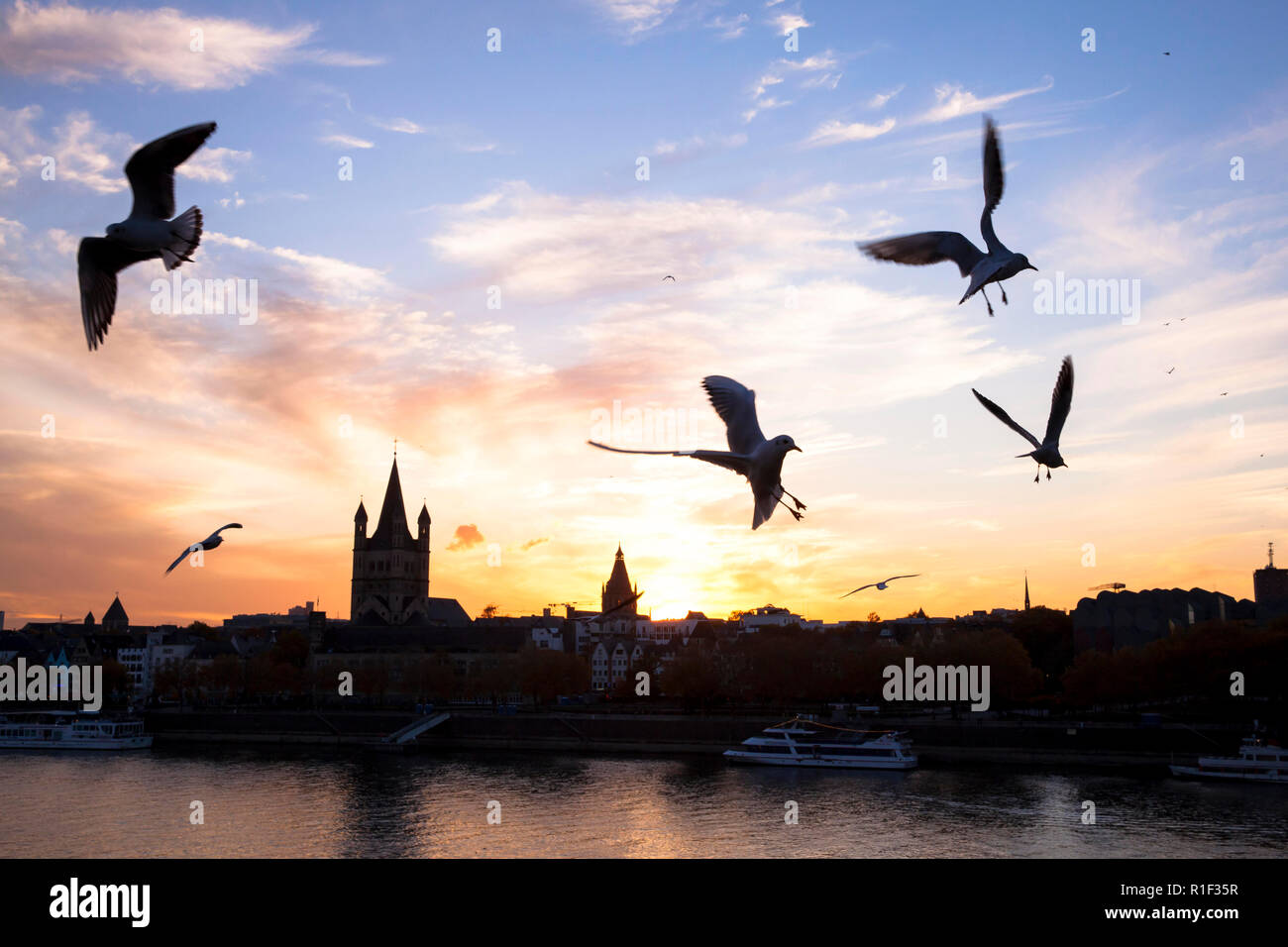 the river Rhine and the old part of the town with the romanesque church Gross St. Martin, gulls, sunset, Cologne, Germany.  Altstadtrheinufer mit der  - Stock Image