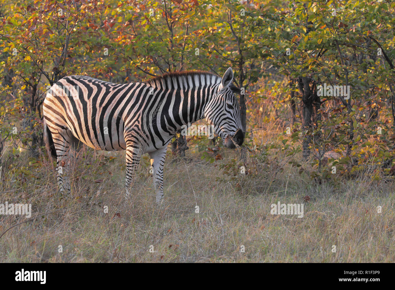 Plain zebra - Stock Image