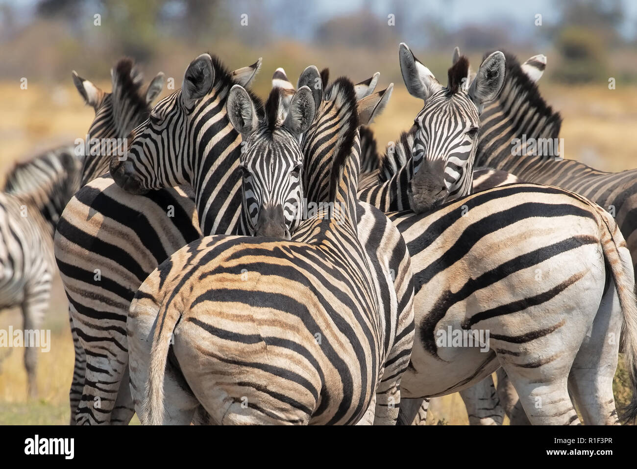 Plain zebra - Stock Image