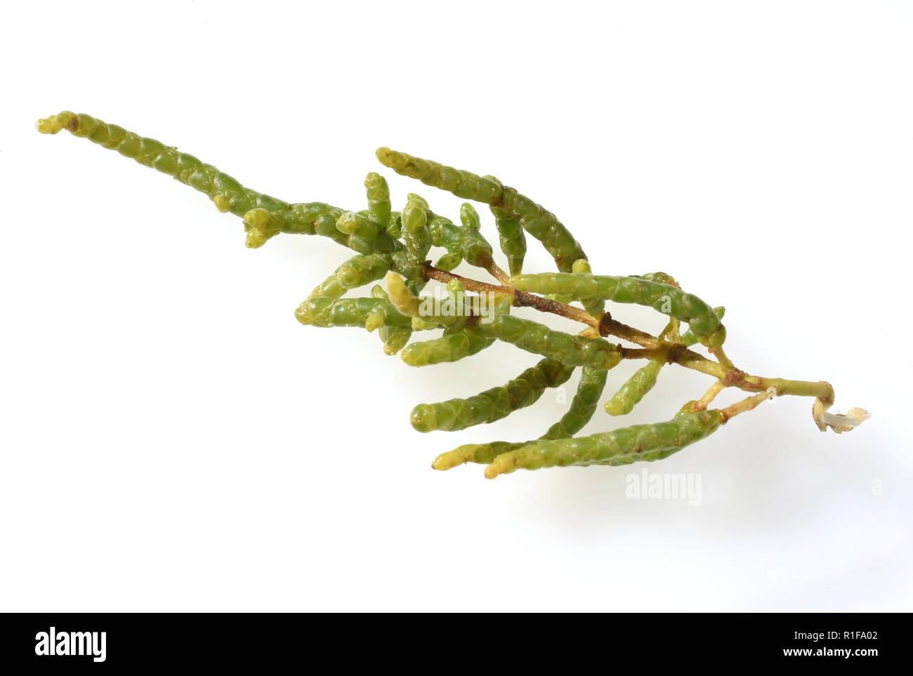 European, Salicornia, europaea Stock Photo