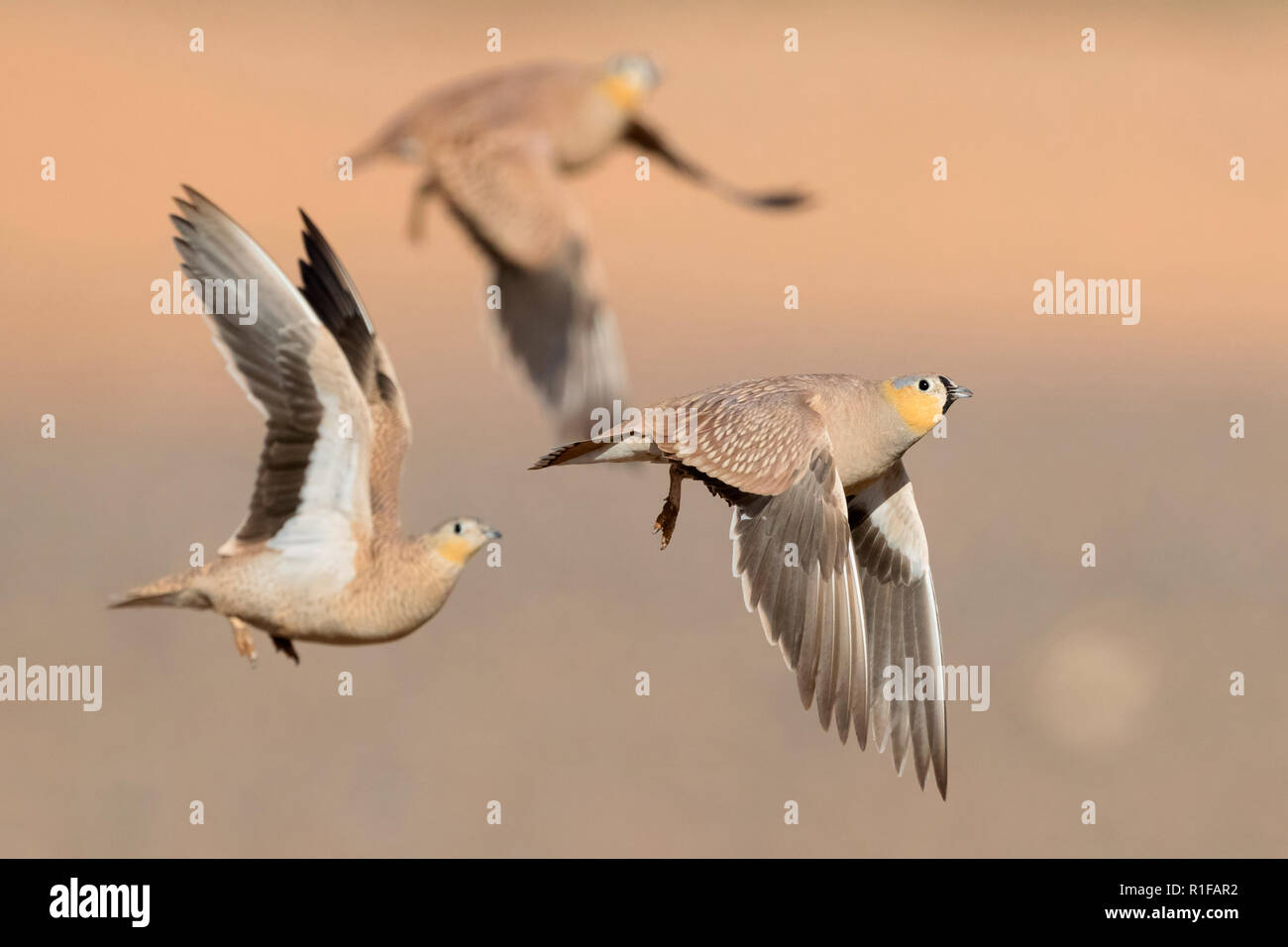 Crowned Sandgrouse (Pterocles coronatus), three adults in flight - Stock Image