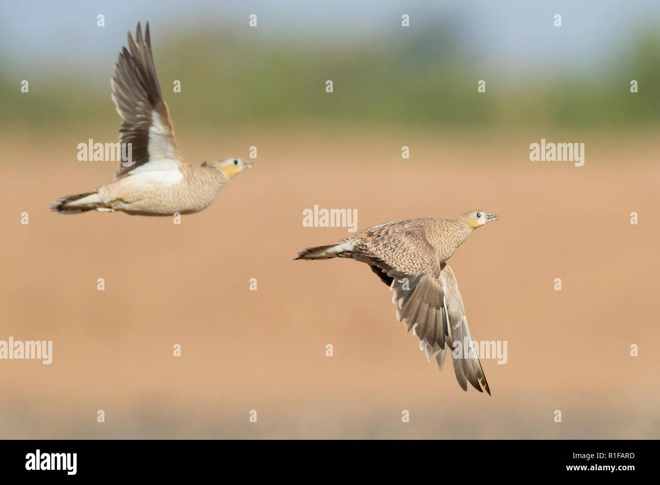Crowned Sandgrouse (Pterocles coronatus), two females in flight - Stock Image