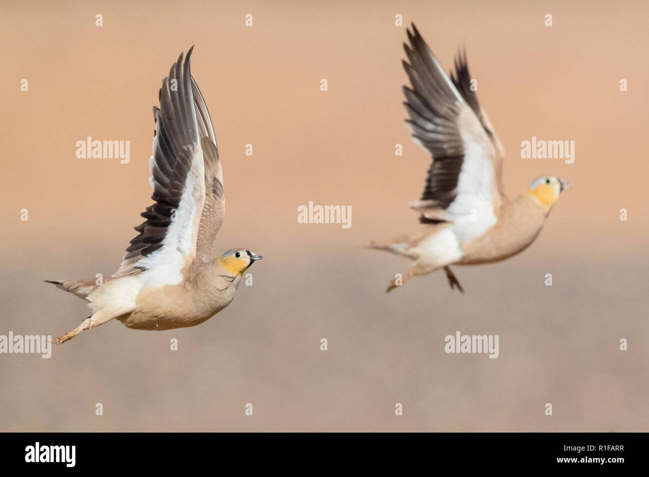 Crowned Sandgrouse (Pterocles coronatus), two adult males in flight Stock Photo