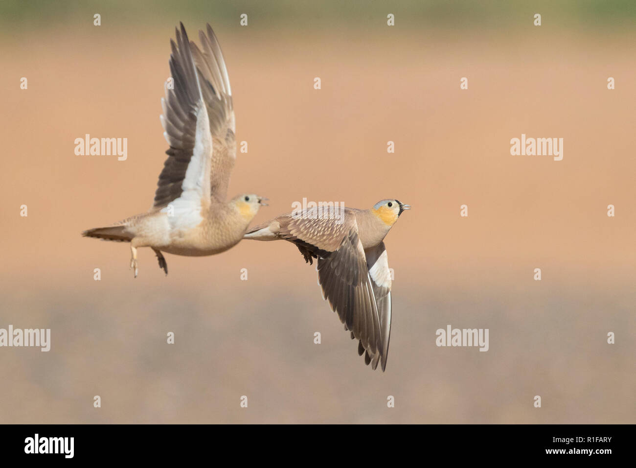 Crowned Sandgrouse (Pterocles coronatus), male and female in flight Stock Photo