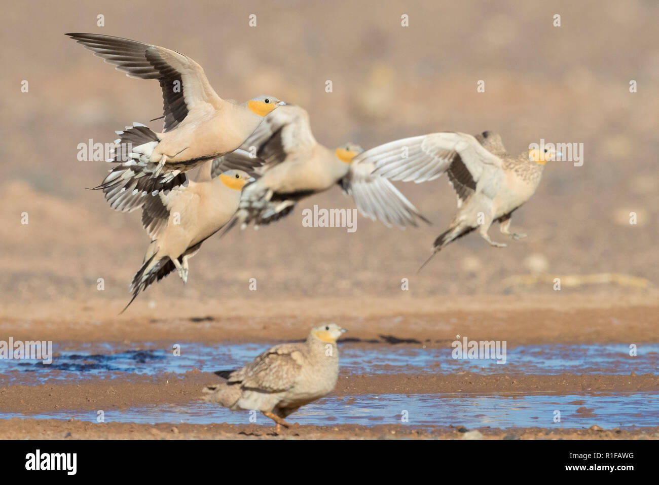 Spotted Sandgrouse (Pterocles senegallus), small flock landing at drinking pool Stock Photo