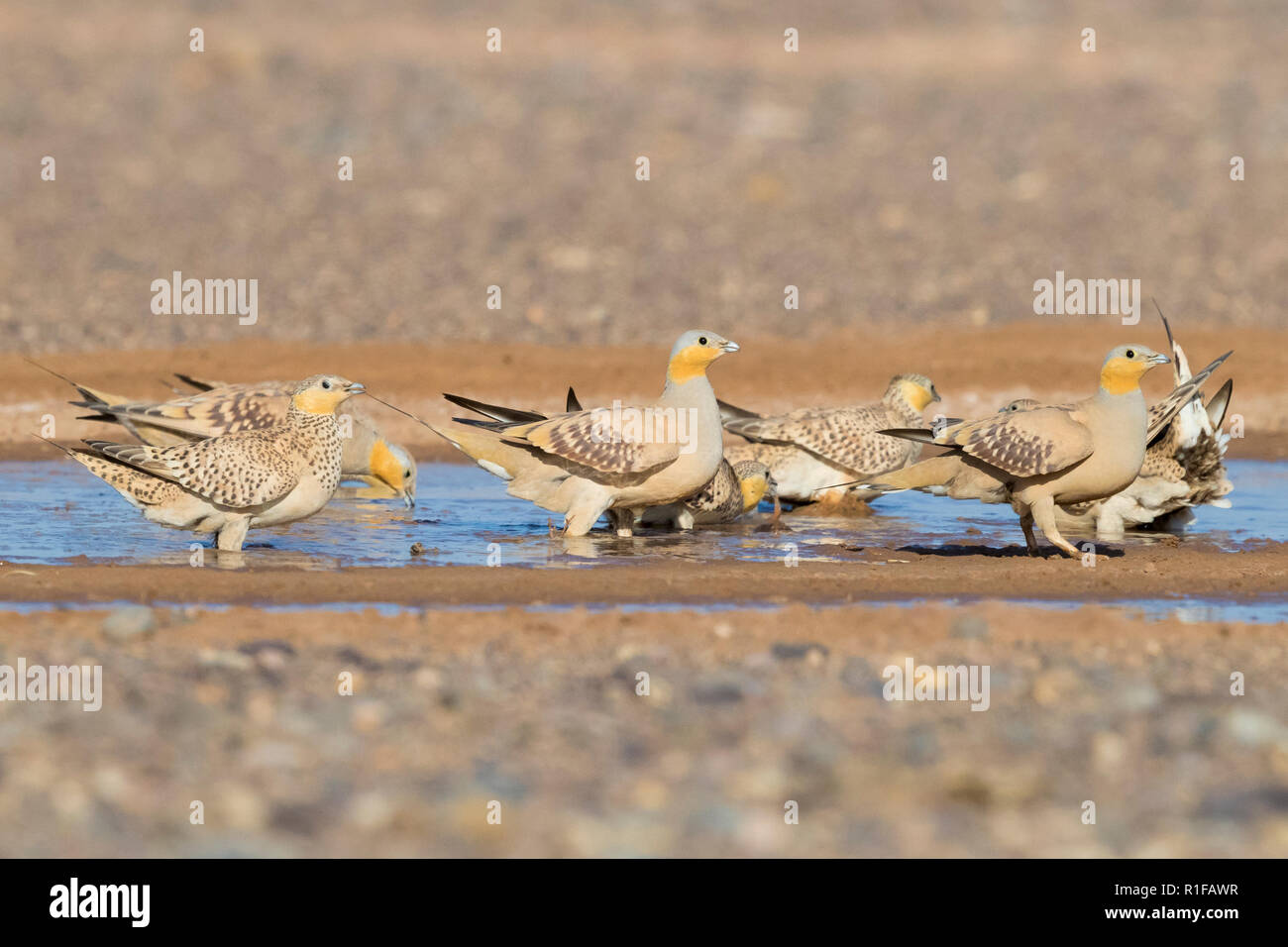 Spotted Sandgrouse (Pterocles senegallus), flock at drinking pool Stock Photo