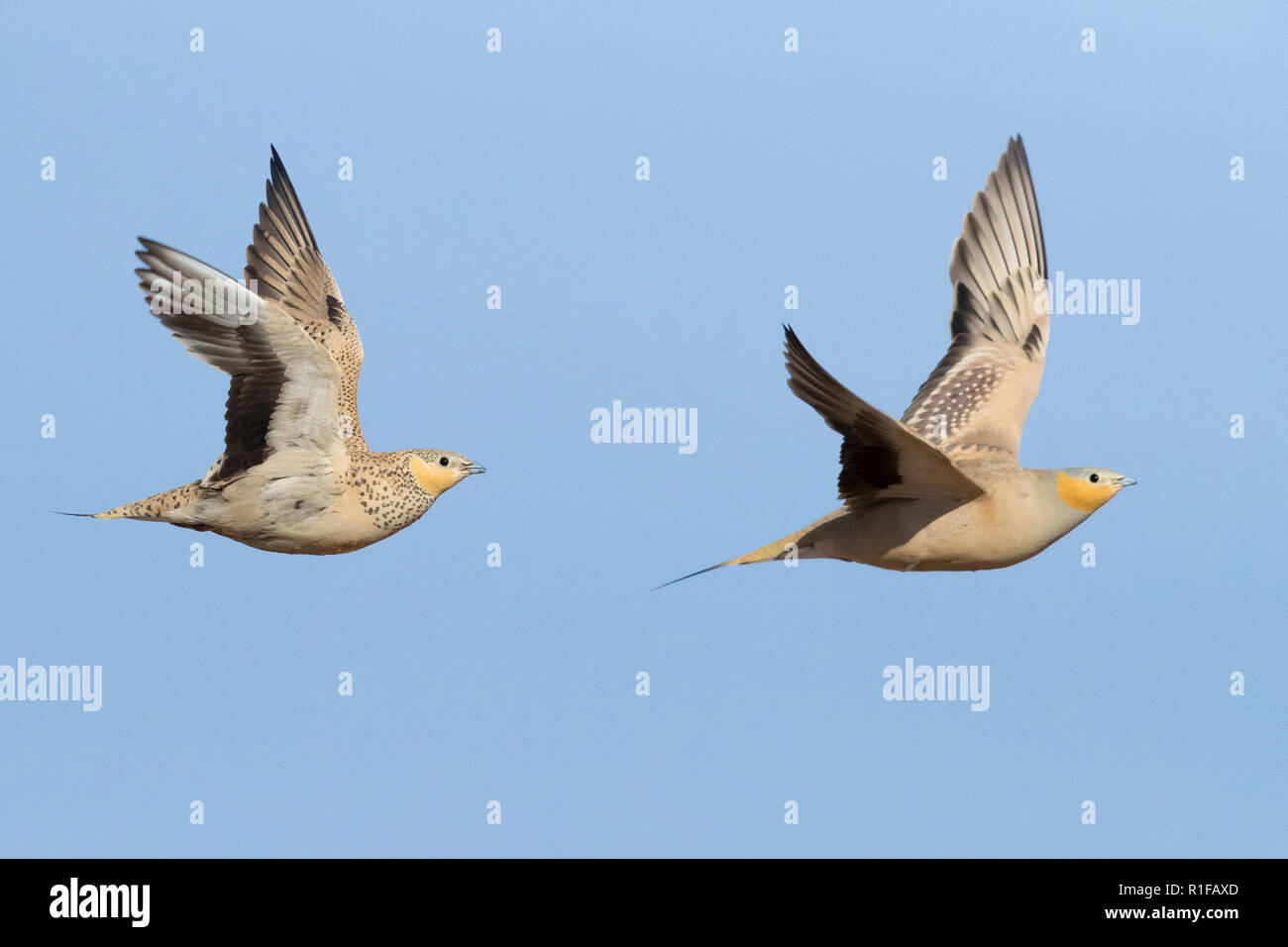 Spotted Sandgrouse (Pterocles senegallus), a male and a female in flight - Stock Image