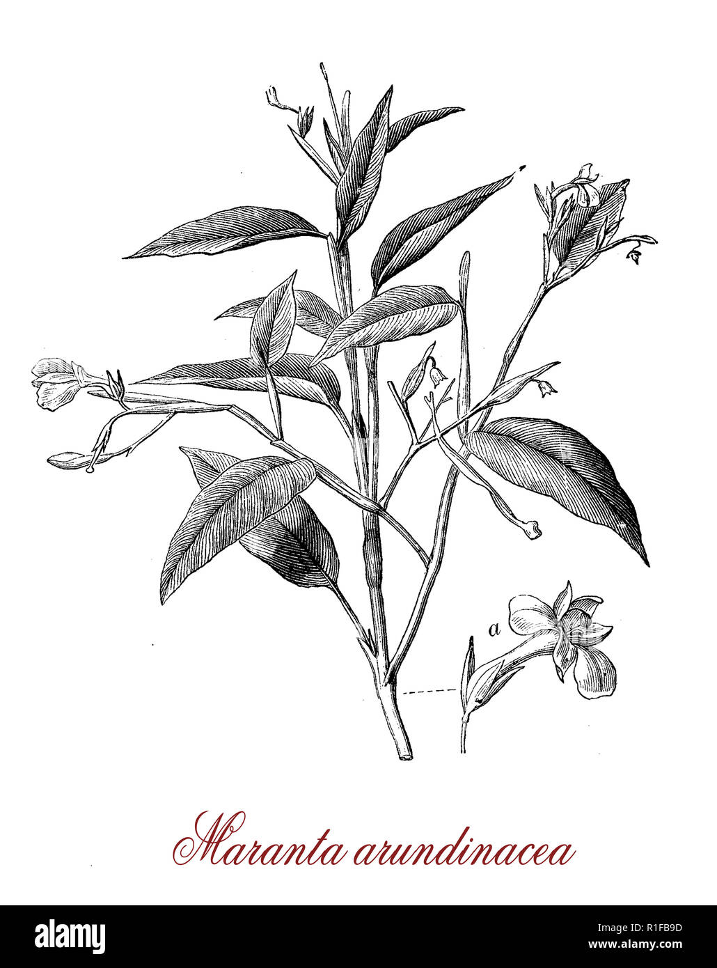 Vintage botanical engraving of Maranta arundinacea or arrowroot,edible and ornamental plant from rainforest of South America - Stock Image