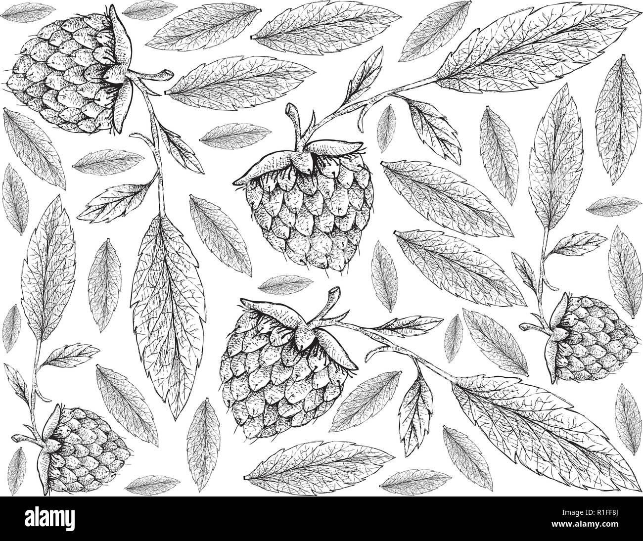 Berry Fruits, Illustration Wallpaper of Hand Drawn Sketch Delicious Fresh Golden Raspberries or Rubus Ellipticus Fruits Isolated on White Background. - Stock Vector