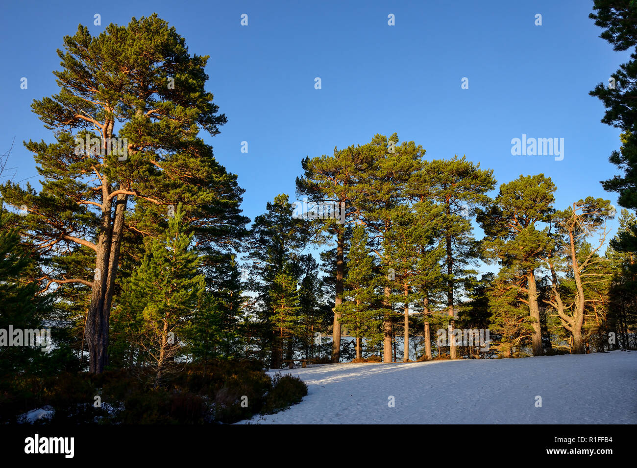 Forest walk in winter snow, Glenmore Forest Park, near Aviemore, Highland Region, Scotland Stock Photo