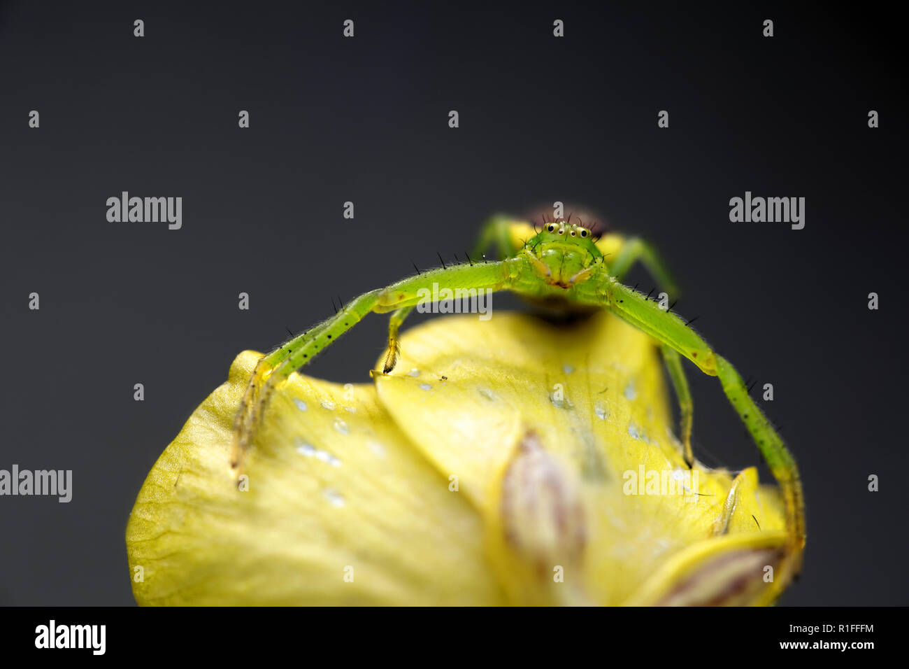 Green crab spider, Diaea dorsata - Stock Image