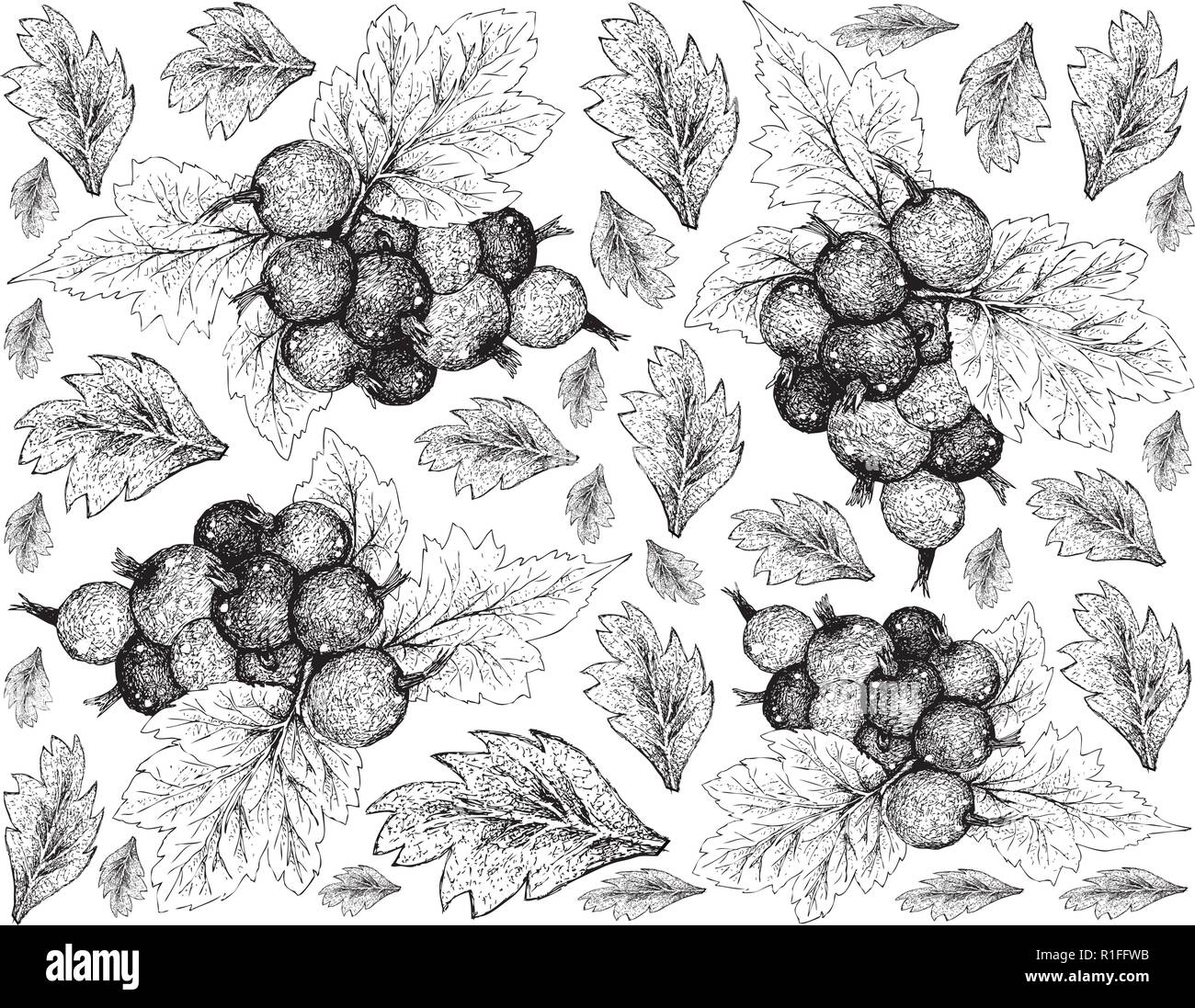 Berry Fruit, Illustration Wallpaper of Hand Drawn Sketch of Jostaberries Isolated on White Background. High in Vitamin C and Minerals with Essential N - Stock Vector