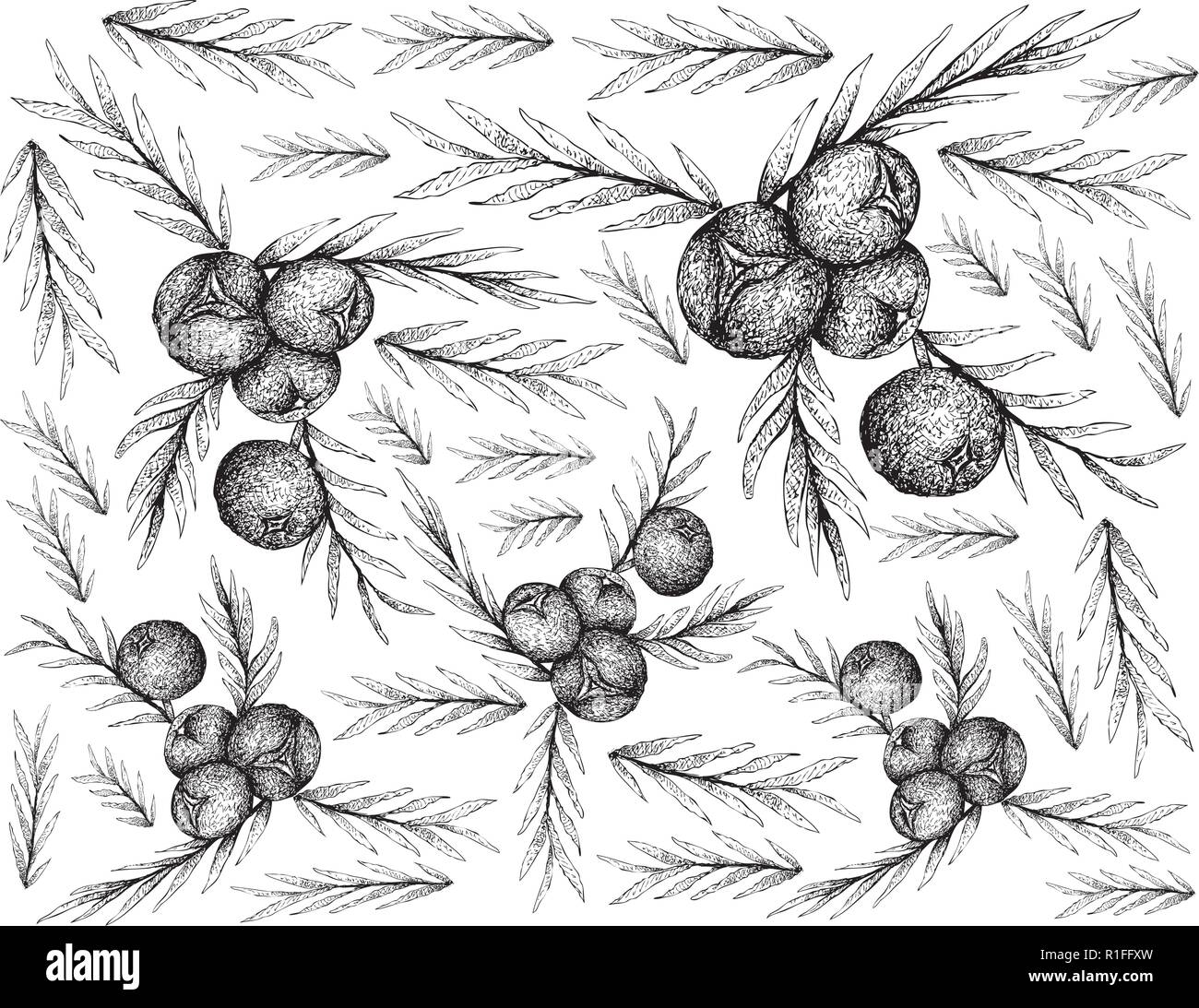 Berry Fruit, Illustration Wallpaper of Hand Drawn Sketch of Juniper Berries Isolated on White Background. High in Bioflavonoids, Antioxidants and Mine - Stock Vector