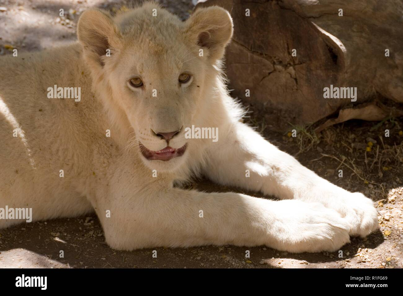 white lion, cango wildlife ranch, south Africa - Stock Image