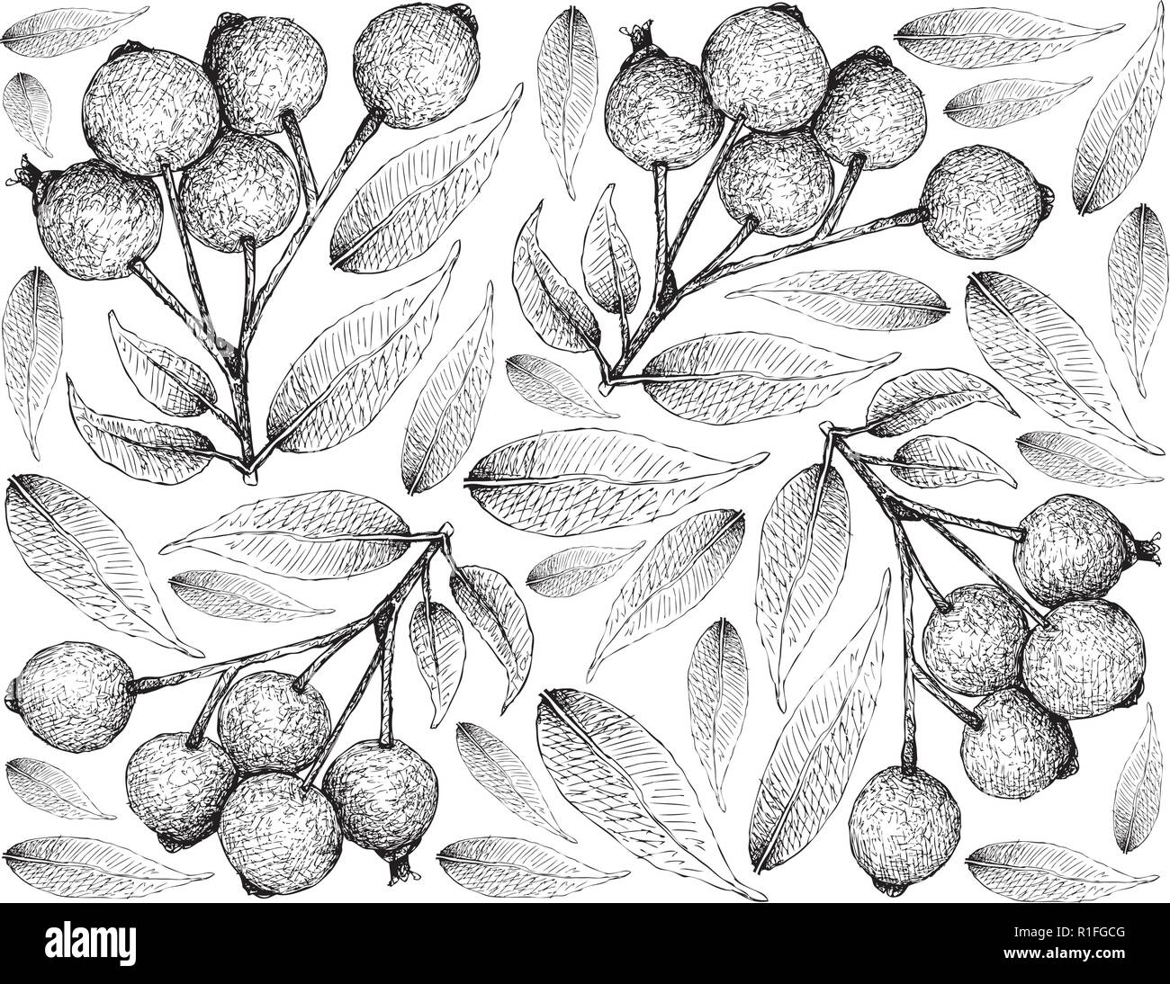 Berry Fruit, Illustration Wallpaper of Hand Drawn Sketch of Magenta Lilly Pilly,  Magenta Cherry or Syzygium Paniculatum Fruits Isolated on White Back - Stock Vector