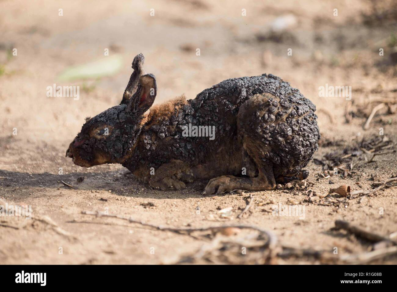 Malibu, California, USA. 12th Nov, 2018. A rabbit suffering from burns struggles to find safety, as the Woolsey fire continues to burn. Credit: Chris Rusanowsky/ZUMA Wire/Alamy Live News Stock Photo