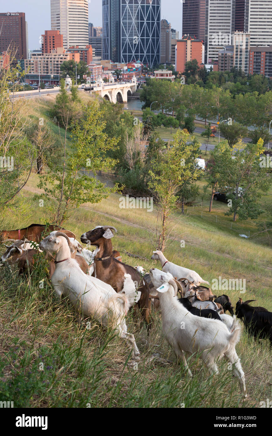 Targeted grazing by herd of goats being used for natural weed control on a hillside overlooking downtown Calgary - Stock Image