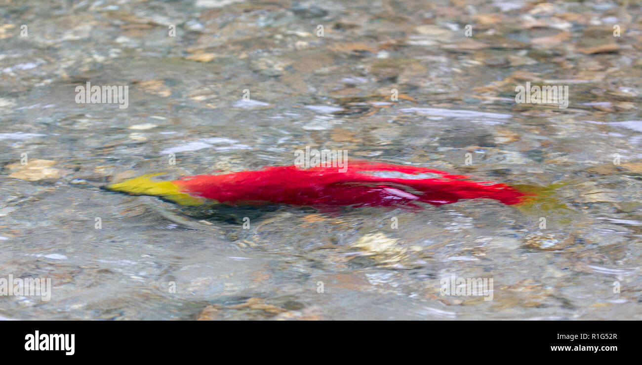 Close views of Sockeye salmon in the Mitchell river in the Cariboo Mountains Park, British Columbia, Canada - Stock Image