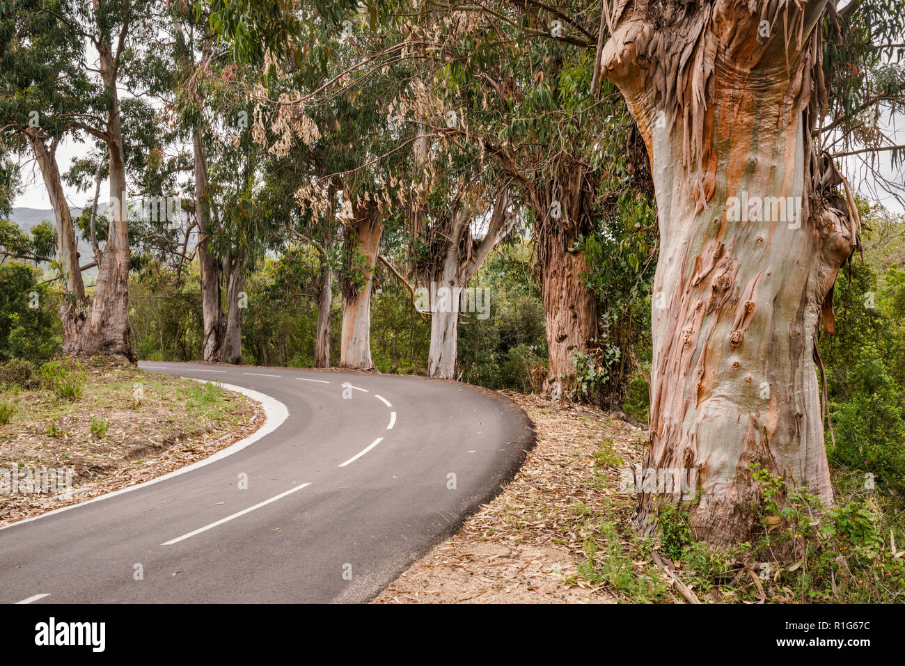 Eucalyptus trees, invasive species brought from Australia, along road D-55 in Chiavari Forest, Corse-du-Sud, Corsica, France - Stock Image