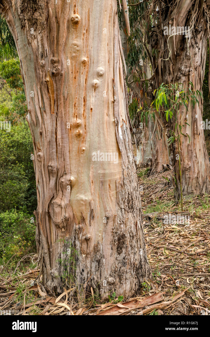 Eucalyptus tree trunks, invasive species brought from Australia, along road D-55 in Chiavari Forest, Corse-du-Sud, Corsica, France - Stock Image