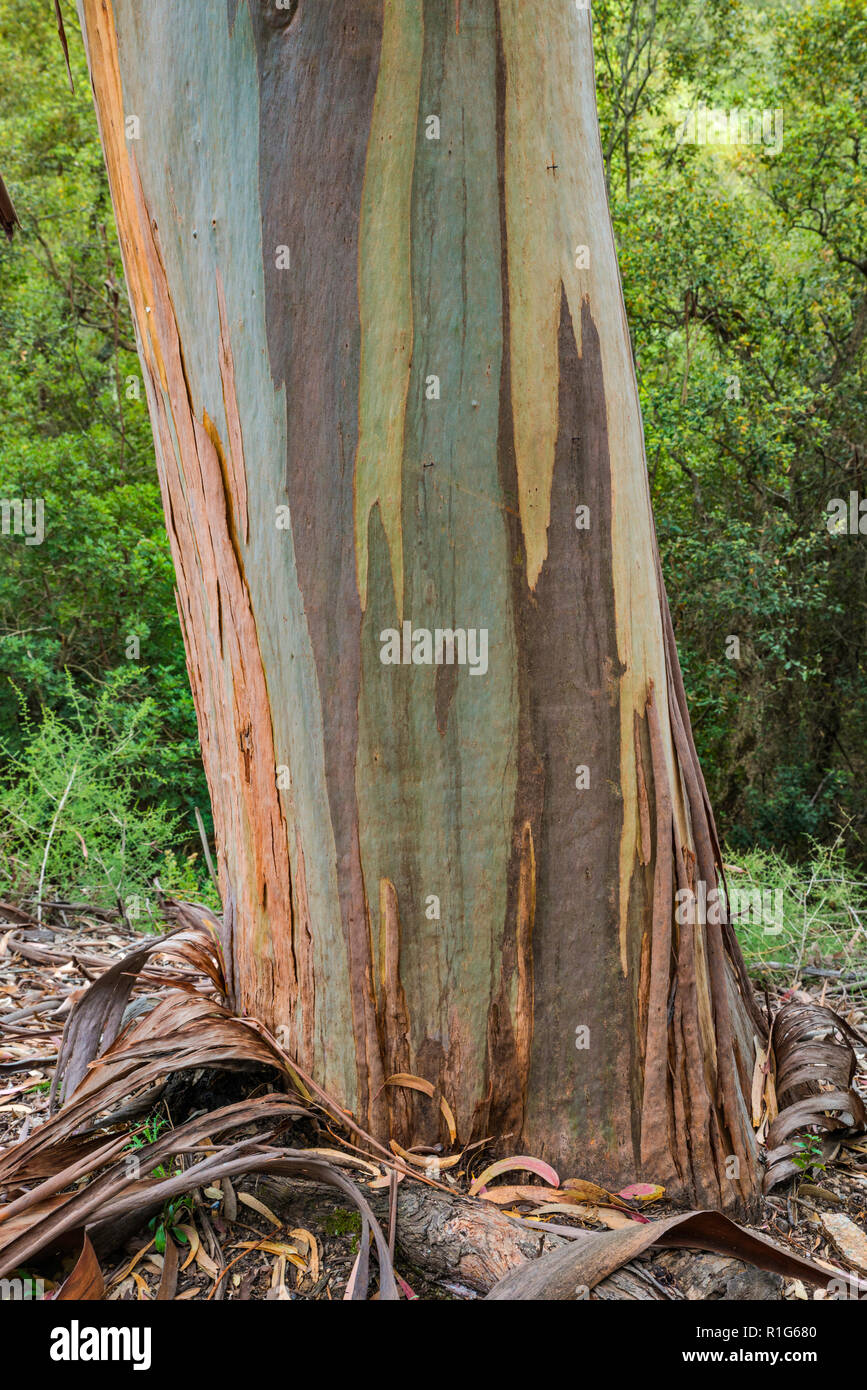 Eucalyptus tree trunk, invasive species brought from Australia, along road D-55 in Chiavari Forest, Corse-du-Sud, Corsica, France - Stock Image