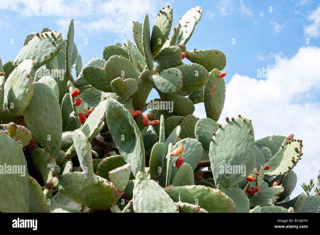 Prickly Pear cactus plant, Kouklia, Pafos District, Republic of Cyprus Stock Photo