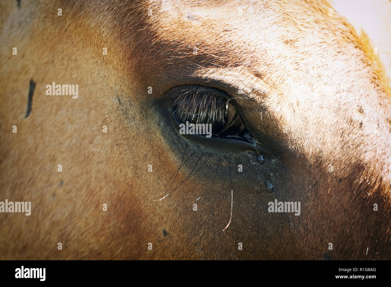 eye of the horse with tears - Stock Image