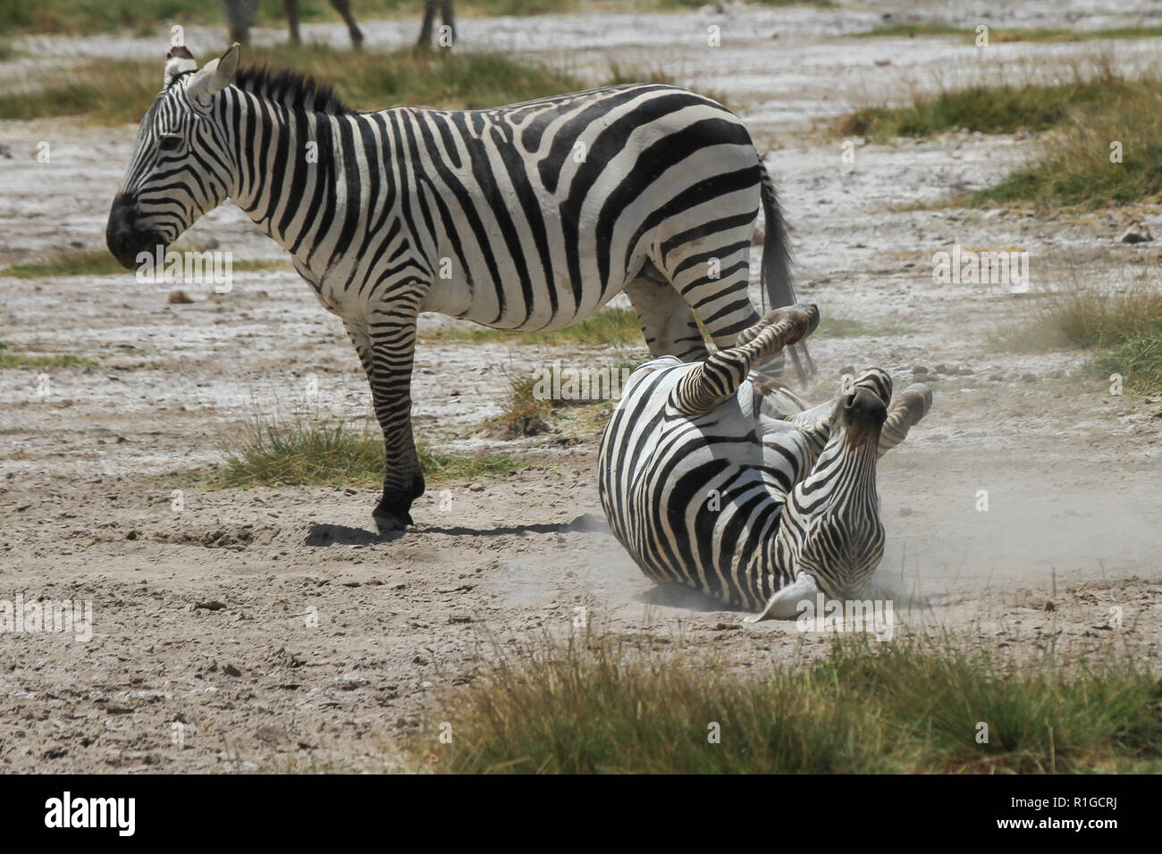 A zebra rolling in the dust of Amboseli national park - Stock Image