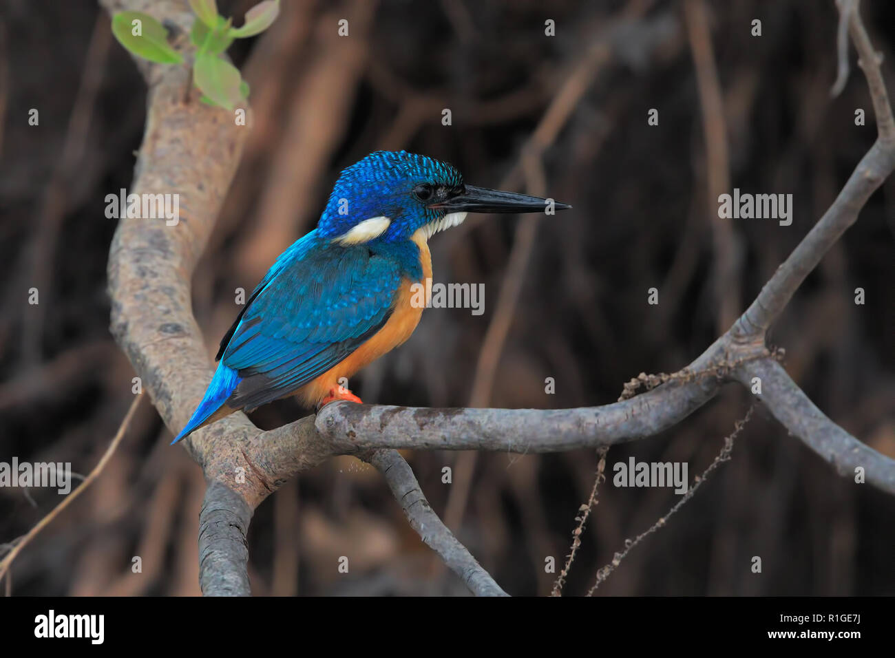 Half-collared Kingfisher Stock Photo