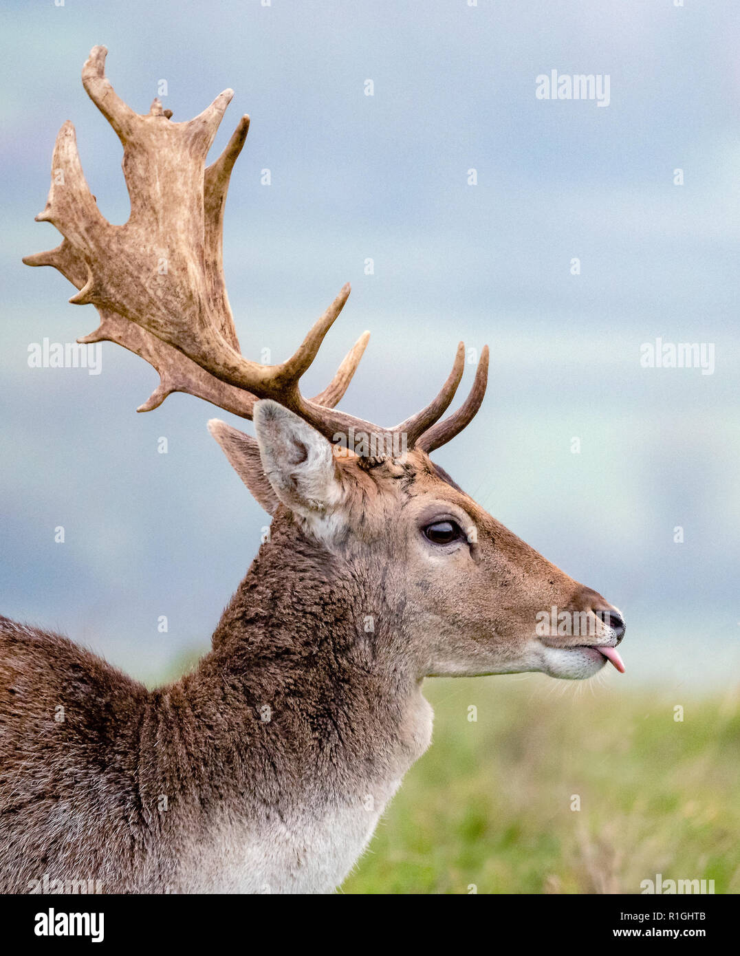 Mature fallow Deer stag sticking out his tongue - herd of Dyrham Park Gloucestershire UK - Stock Image
