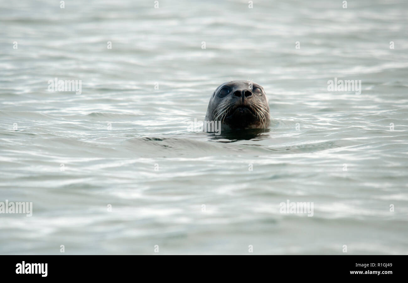 The harbor (or harbour) seal (Phoca vitulina), also known as the common seal, is a true seal found along temperate and Arctic marine coastlines of the - Stock Image