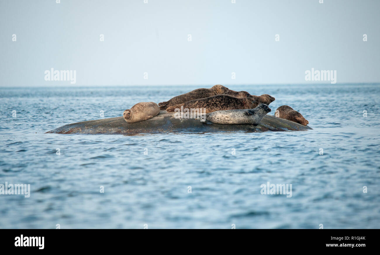 The harbor (or harbour) seal (Phoca vitulina), also known as the common seal, is a true seal found along temperate and Arctic marine coastlines of the Stock Photo