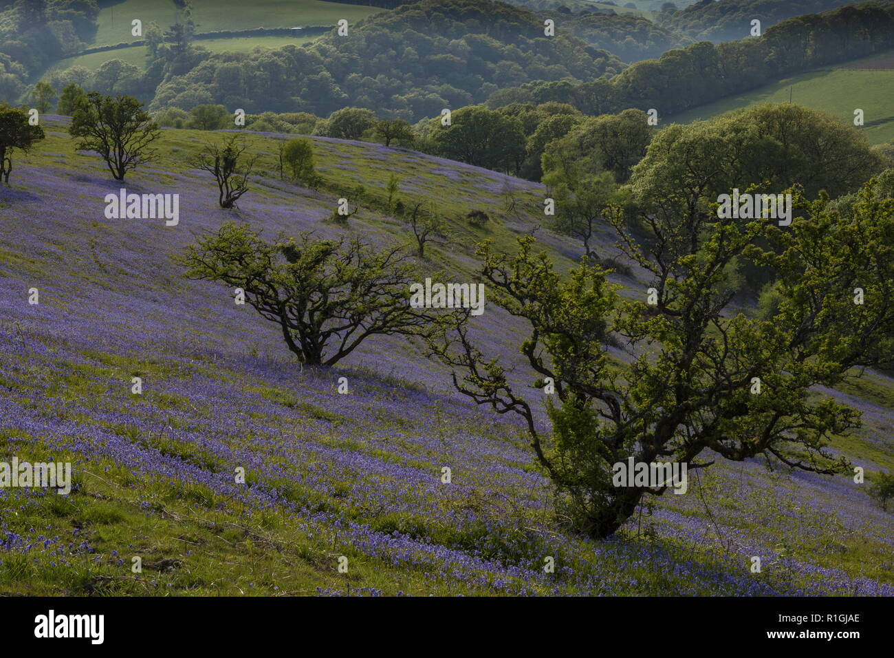 Dense bluebell sward in May on common land at Ashway Side, Tarr Steps, Barle Valley, Exmoor. Stock Photo