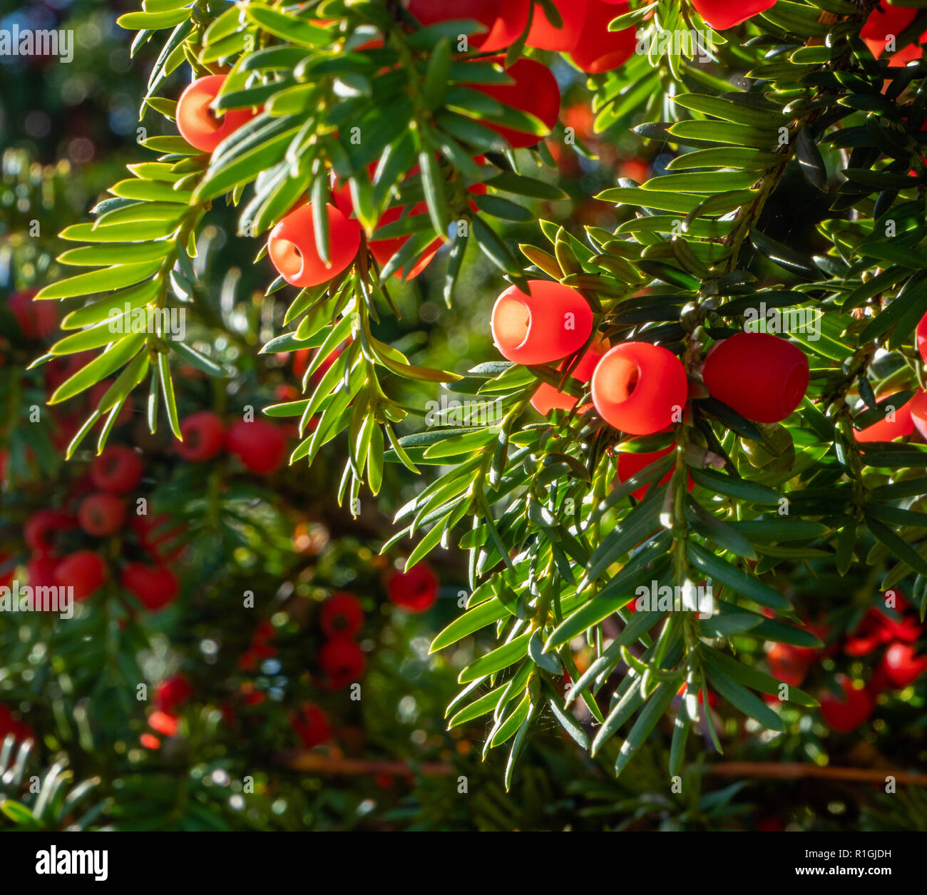 Yew tree with waxy red berries in autumn - Somerset UK Stock Photo