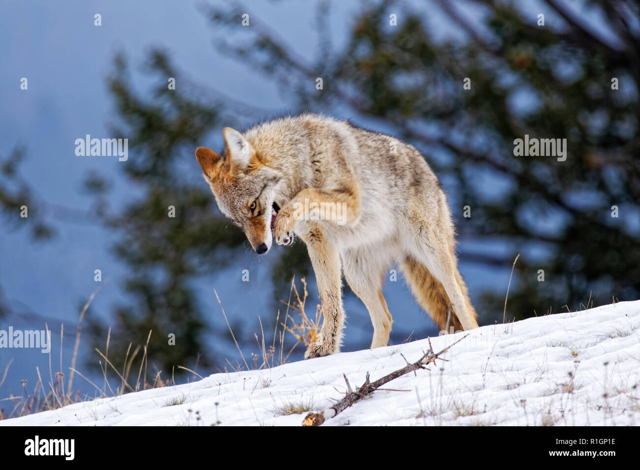 42,757.09724 Close up adult Coyote standing pawing at mouth to dislodge caught food caught or soothe injured paw, cold winter snow snowy trees sky in  - Stock Image