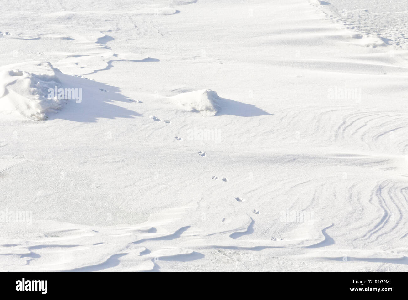 42,748.08786 close up of coyote tracks crossing walking across and in fresh rippled wavy drifted snow; long shadows - Stock Image