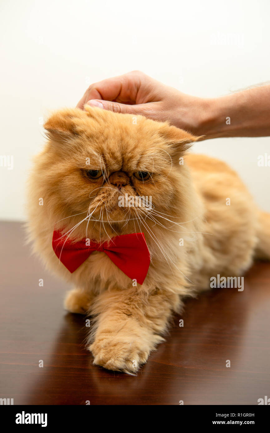Photo of ginger cat in red bow tie sitting - Stock Image