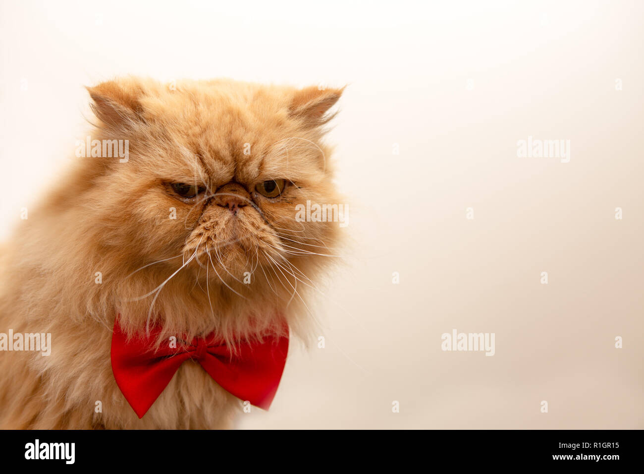 Photo of fluffy ginger cat in red bow tie sitting - Stock Image