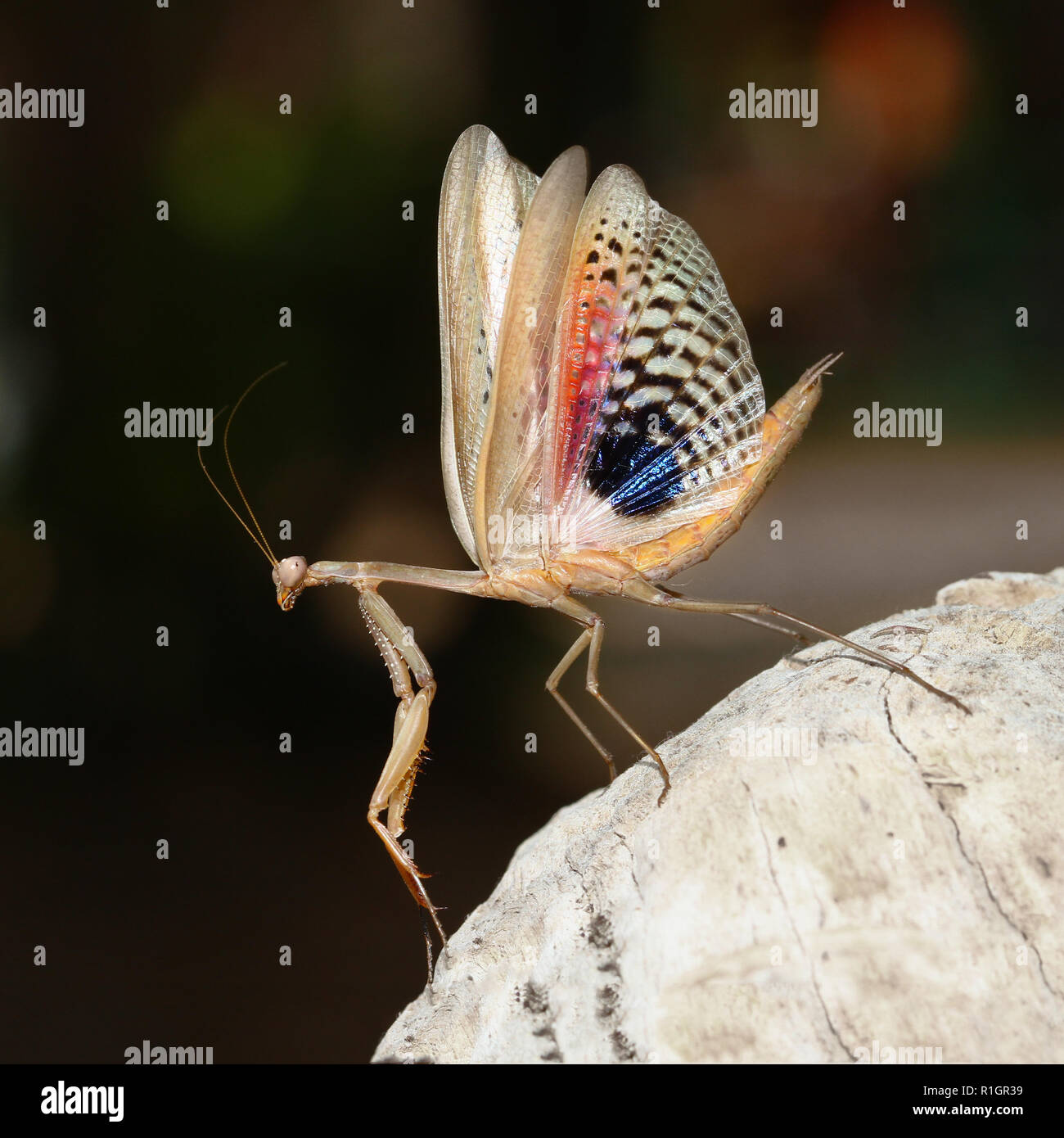 Frightened brown praying mantis show her wings Stock Photo